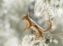 Red squirrel is looking up on lilac  branches. Red squirrel looking up on lilac  branches Stock Photography