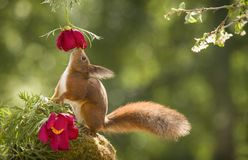 Red squirrel looking up at a peony. Red squirrel looking up at an peony Royalty Free Stock Image
