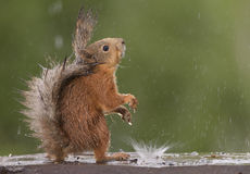 Red squirrel looking up. With rain and a splash Royalty Free Stock Images