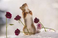 Red squirrel is looking up between roses. In the snow Royalty Free Stock Photography