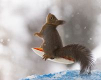 Red squirrel looking up on an  surfboard. Red squirrel is looking up on an  surfboard Royalty Free Stock Images