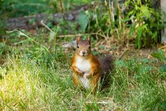 Red squirrel looking at you Royalty Free Stock Photography