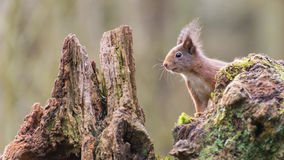 Red squirrel. On the lookout stock image