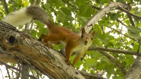 Red squirrel looks into the camera with a tree branch royalty free stock photos