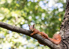 Red squirrel lying on tree branch against blurred green leaves b Stock Photos