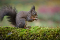 Red squirrel on moss Royalty Free Stock Photos