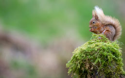 Red Squirrel. A red squirrel on a mossy wood pole in Dumfries and Galloway, Scotland royalty free stock images