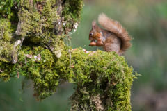 Red Squirrel. A red squirrel on a mossy wood pole in Dumfries and Galloway, Scotland stock photography