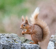 Red Squirrel. A red squirrel on a mossy wood pole in Dumfries and Galloway, Scotland royalty free stock image