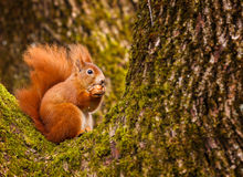 Red squirrel munching on a hazel nut Stock Images
