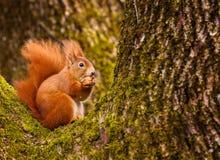 Red squirrel munching on a hazel nut