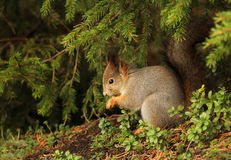 Red squirrel in natural outdoor environment Royalty Free Stock Photos