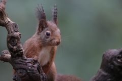 Red squirrel in nature. Close up portrait Royalty Free Stock Images