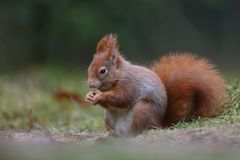 Red squirrel in nature. Eating Stock Photography