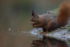 Red squirrel in nature. Eating near water Stock Image