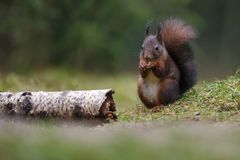 Red squirrel in nature. Eating a nut Royalty Free Stock Photography