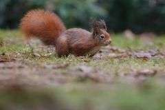 Red squirrel in nature. Eating a nut Royalty Free Stock Images