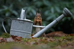 Red squirrel in nature. Eating a nut near a watering can Stock Images