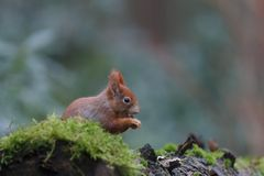 Red squirrel in nature. Eating a nut Stock Image
