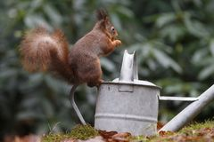 Red squirrel in nature. Eating a nut Stock Photos