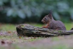 Red squirrel in nature. In a forest Royalty Free Stock Photography