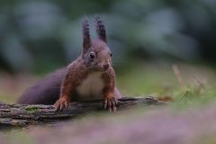 Red squirrel in nature. In a forest Stock Photography