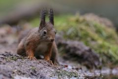 Red squirrel in nature. In a forest Royalty Free Stock Images