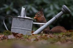 Red squirrel in nature. In a forest Stock Images