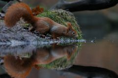 Red squirrel in nature. Near water Royalty Free Stock Images
