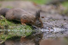 Red squirrel in nature. Near water Royalty Free Stock Photo