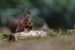 Red squirrel in nature. Eating a nut Stock Photography