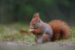 Red squirrel in nature. Eating a nut Royalty Free Stock Image