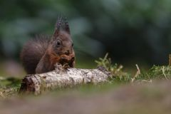 Red squirrel in nature. Eating a nut Stock Images