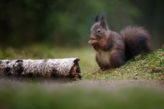 Red squirrel in nature. Eating a nuts Stock Image