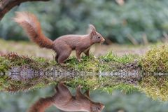 Red squirrel in nature. Near water Stock Photos