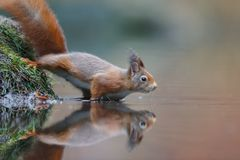Red squirrel in nature. Reflection in water Stock Images