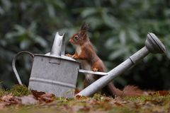 Red squirrel in nature. Standing on a watering can Stock Image