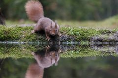 Red squirrel in nature. And a reflection in water Stock Images
