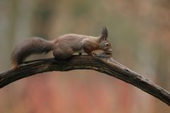Red squirrel in nature. Sits on a tree Stock Photos