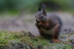 Red squirrel in nature. Standing eating a nut Stock Images