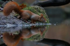 Red squirrel in nature. Standing near water Stock Photos
