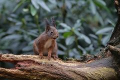 Red squirrel in nature. Standing a piece of wood Royalty Free Stock Images