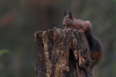 Red squirrel in nature. On a stump Stock Photography