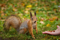 Red squirrel in nature Stock Photo