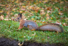 Red squirrel in nature 2 Stock Image