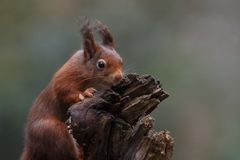 Red squirrel in nature. On a tree Stock Photos