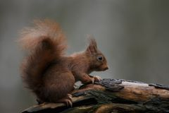 Red squirrel in nature. On a tree Stock Images