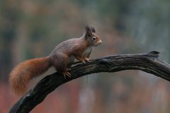 Red squirrel in nature. On a tree Royalty Free Stock Photography