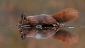 Red squirrel in nature. Walking through water Stock Photo