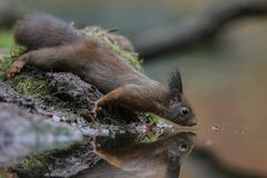 Red squirrel in nature. Wants to drink water Stock Photos